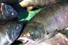 大马哈鱼价格表 大马哈鱼多少钱一斤
