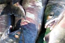大马哈鱼哪里有卖的 大马哈鱼产地是哪儿