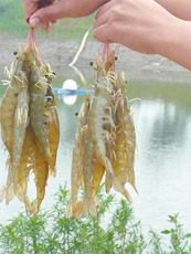 室内养殖南美白对虾 农丰虾王在不断向前