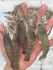 室内养殖沼虾 农丰虾王给养殖户带来希望