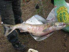 咸大馬哈魚市場價格 咸大馬哈魚價格
