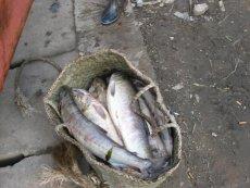 東北大馬哈魚多錢一斤 東北大馬哈魚在哪里