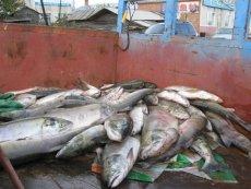 我国大马哈鱼产地 中国哪有大马哈鱼