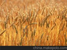 采購大量優質玉米小麥