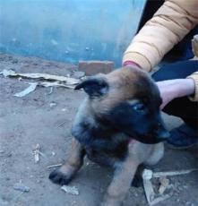 寵物狗  出售馬犬牧羊犬斗狗犬