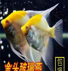 熱銷金頭玻璃燕魚神仙魚熱帶魚自家繁殖特價批發