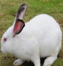 供应湖南种兔
