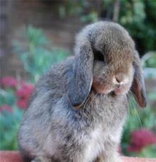 廠家熱銷迷你小寵物兔 垂耳兔荷蘭侏儒兔安哥拉兔  長不大的寵物