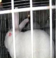 獺兔 獺兔皮 獺兔最新行情 獺兔價格