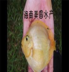 鸚鵡小白魚 6至9公分鸚鵡元寶白魚 歡迎養殖場咨詢
