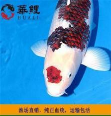 魚場直銷進口日本錦鯉觀賞魚風水魚 華鯉錦鯉大型活體純種