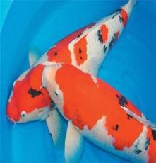 純種進口日本錦鯉活體魚池錦鯉 觀賞魚風水魚華鯉魚場直銷大型