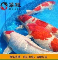 觀賞魚風水魚華鯉魚場直銷大型 純種進口日本錦鯉活體魚池錦鯉