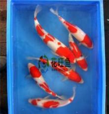 供應血統純正的日本錦鯉魚出售 品種齊全提供養殖技術