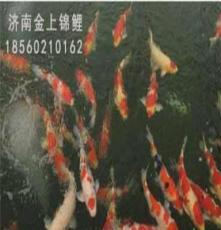 濟南錦鯉銷售高端進口錦鯉