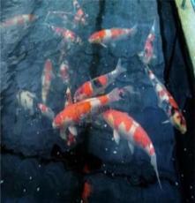 濟南錦鯉養殖高端進口錦鯉