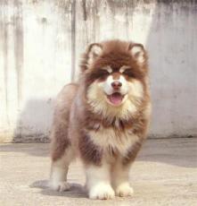 精品巨型阿拉斯加雪橇犬
