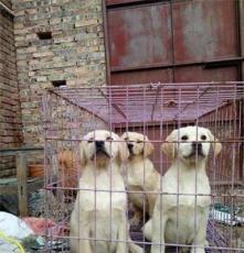 寵物狗拉布拉多犬精品出售小犬