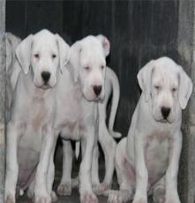 精致杜高犬出售杜高犬養殖