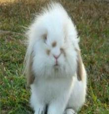 廣西玉兔苑寵物兔垂耳兔獅子兔道奇兔專賣店