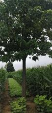 8公分楸树 10公分11公分楸树价格分别多少
