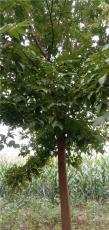 10公分绿叶复叶槭价格 11公分复叶槭多少钱