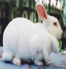 山東鑫發獺兔長毛兔