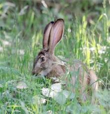 野兔山東野兔批發