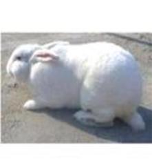 供應科學養殖獺兔法系獺兔