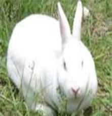 供應獺兔養殖場獺兔利潤獺兔行情