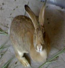 供應如:肉兔行情獺兔場肉兔價格獺兔價格