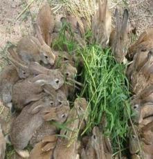 雜交野兔價格野兔場