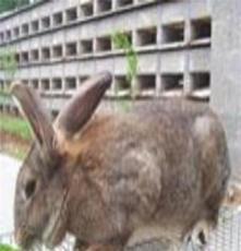 供應2013年肉兔價格肉兔養殖行情