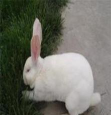 獺兔場獺兔價格獺兔行情