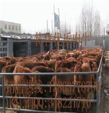 遼寧夏洛萊牛養殖場/行運牛羊供/湖南夏洛萊牛/遼寧夏洛萊牛養殖場