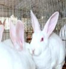 供應種兔種兔價格 種兔品種 肉兔價格