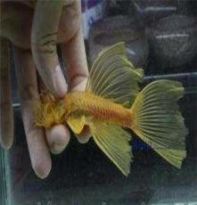 黃金藍眼大帆清道夫熱帶魚活體3cm左右批發