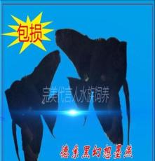 德系黑幻想墨燕神仙魚熱帶魚活體2-3cm左右批發