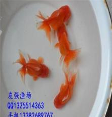 精品紅泰獅金魚/觀賞金魚活體/品質魚/直銷包活/冷水淡水金魚魚苗