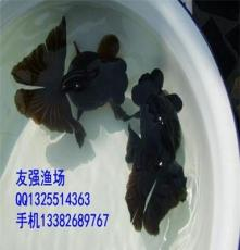 銷售友強金魚冷水魚觀賞魚 精品黑紅五花蝶尾金魚活體風水魚運輸包活