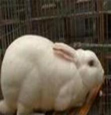 供應 純種獺兔 法系獺兔,德系獺兔,美系獺兔