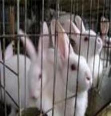 大量新西蘭種兔,美系獺兔·養兔技術獺兔圖片