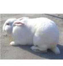各種 優質獺兔 肉質獺兔美系獺兔