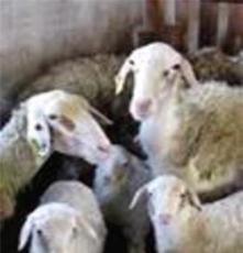 廠家長期供應各種優質獺兔 種兔