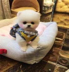 寵物幼犬購買 博美犬 金毛 拉布拉多 哈士奇等幼犬