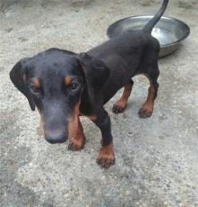 繁殖基地出售賽級品相卡斯羅幼犬,保健康包純種