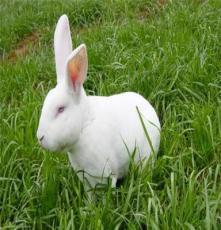 獺兔養殖技巧 獺兔皮價格行情 獺兔廠家