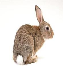 比利時兔供應-比利時兔價格-比利時兔最新報價