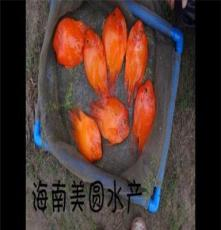 鸚鵡魚批發 海南美圓水產養殖場 漁場直銷