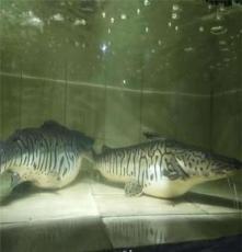 廠家熱帶魚觀賞魚活體 鴨嘴鯊種魚 虎紋斑馬鴨嘴鯊 鴨嘴鯰魚 低價批發